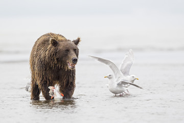 USA, Alaska, Brown Bear mit Lachs gefangen in Silver Salmon Creek in Lake Clark Nationalpark und Reservat