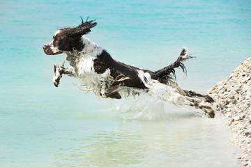 Deutschland, Bayern, English Springer Spaniel Springen in Wasser