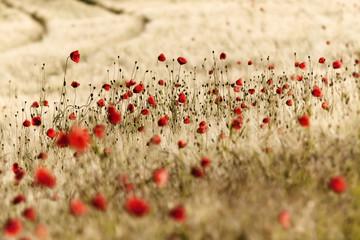 Deutschland, Baden-Württemberg, Feld mit roten Mohnblumen