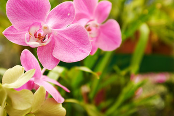 Beautiful  orchid - phalaenopsis
