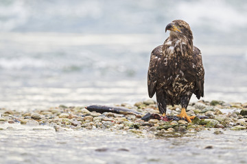 USA, Alaska, Junge Weißkopfseeadler mit gefangenen Fisch am Chilkoot Fluss