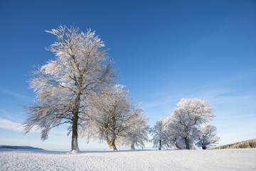 Deutschland, Baden Württemberg, Wind gebogene Buchenbäume im Winter