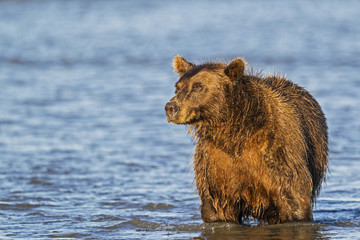 USA, Alaska, Brown bear gerade für Lachse in Silver Salmon Creek in Lake Clark Nationalpark und Reservat