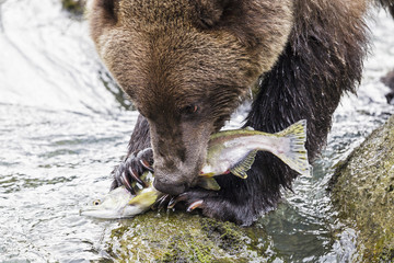 USA, Alaska, Brown bear essen Lachs Chilkoot See