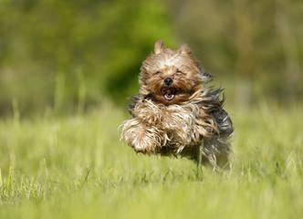 Deutschland, Baden Württemberg, Yorkshire Terrier Hund auf Gras laufen