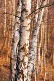 Naklejka Birch Tree