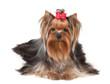 Nice Yorkshire Terrier