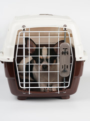 Chihuahua inside the carrier