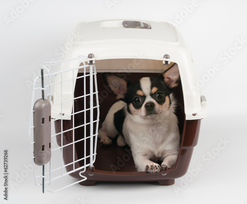 Fotobehang Dragen Chihuahua in the open carrier