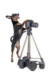pinscher on a white background in the studio with a camera