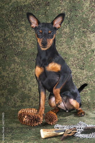 Hunter pinscher on a white background in the studio with a knife