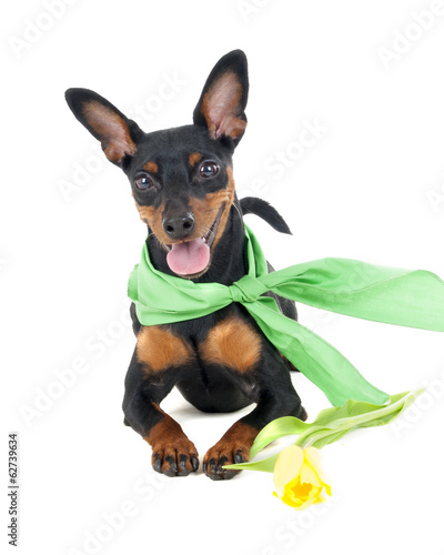 pinscher on a white background in the studio with flower