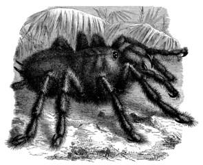 Black Spider - Araignée - Spinne