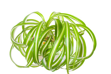 Chlorophytum in flowerpot isolated on white background