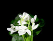 Beautiful snowdrops, isolated on black