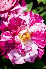 赤と白の珍しい絞り模様のバラの花