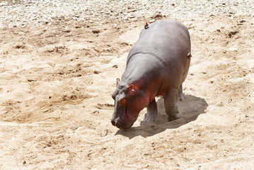 Hippopotamus moving in Mara River