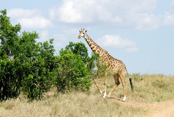 A Giraffe near green  bushes