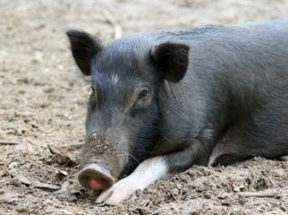 black pig resting on the ground