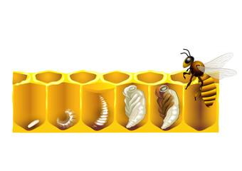 Der Lebenszyklus einer Honigbiene