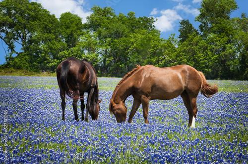 Two horses grazing in the bluebonnet pasture in Texas spring