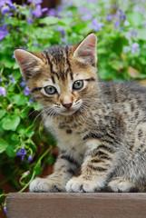 Süsses Katzenkind, braun tabby EKH, im Garten