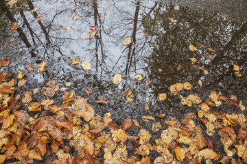 reflection in puddle and leaves of beech