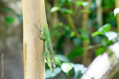 canvas print picture Green Gecko
