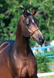 portrait  of beautiful  bay colt