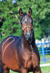 portrait  of beautiful  bay colt