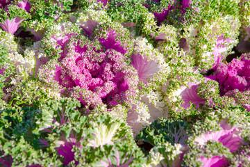 Decorative cabbage, Brassica oleracea