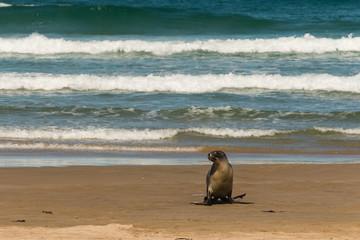 female sea lion hopping across beach
