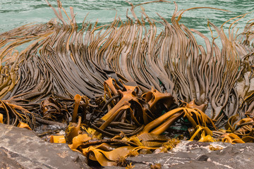 giant kelp growing on rocks