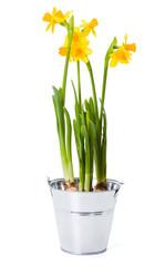 Daffodils in tin pot
