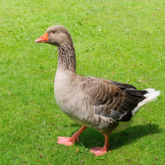gray goose on green field