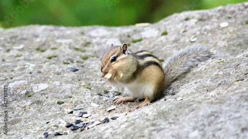Chipmunk eating seeds on the rock.