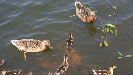 Duck with ducklings swimming in the pond