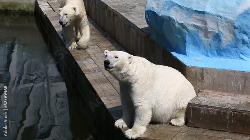 Couple polar bears in a cage.