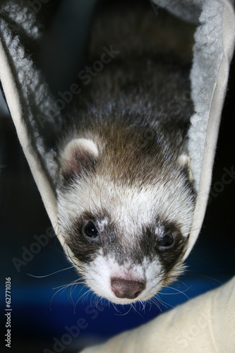 Sleeps in a hammock .Cute ferret