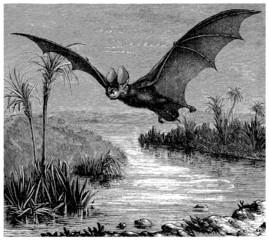Bat - Chauve-Souris : Nycteris Geoffroyi