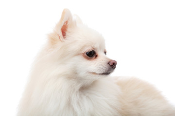 White pomeranian looking another side