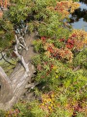 arbusto di ginepro
