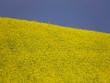 campo di colza su sfondo cielo