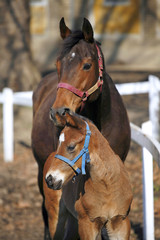 Two weeks old foal with mare at the corral