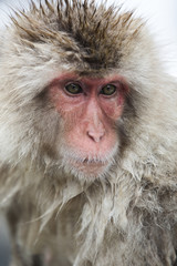 Japanese snow monkey portrait