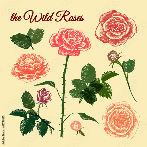 THE WILD ROSES - hand drawn illustrations