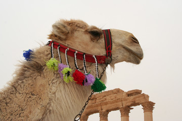 White Camel at the Palmyra Ruins