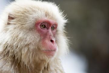 Snow monkey portrait, Jigokudani Park