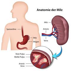 Anatomie der Milz