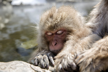 Baby Japanese snow monkey in a hot spring.